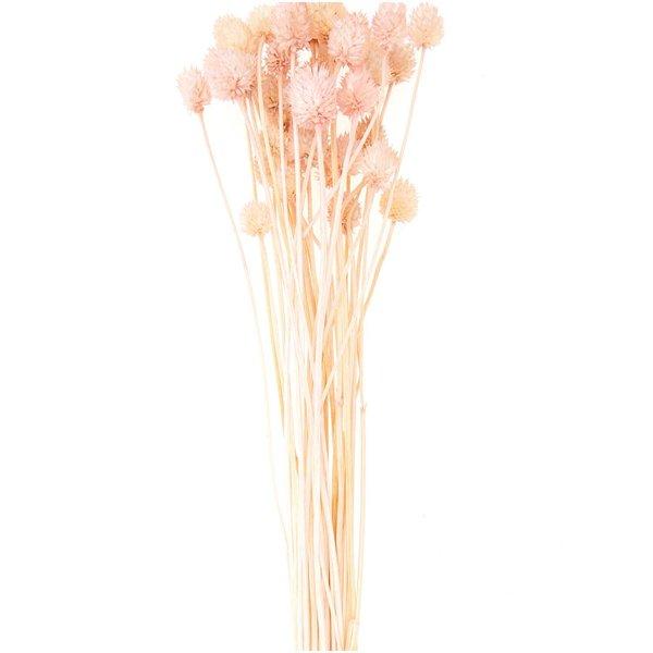 Made by Me Getrocknete japanische Karde pink 60-75cm 50g