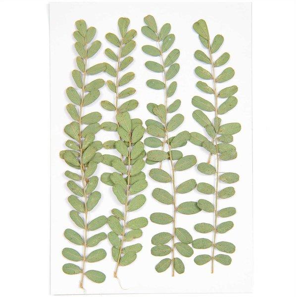 Made by Me Gepresste Pflanzen Nelkengewächs 8 Stück