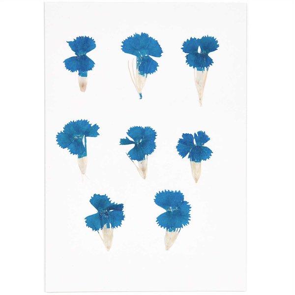 Made by Me Gepresste Blüten Chinesische Nelke blau 6 Stück