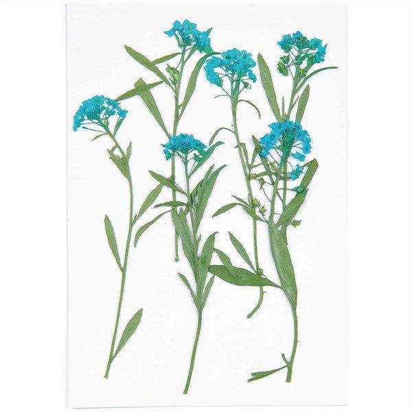 Made by Me Gepresste Blüten Strand-Silberkraut blau 6 Stück